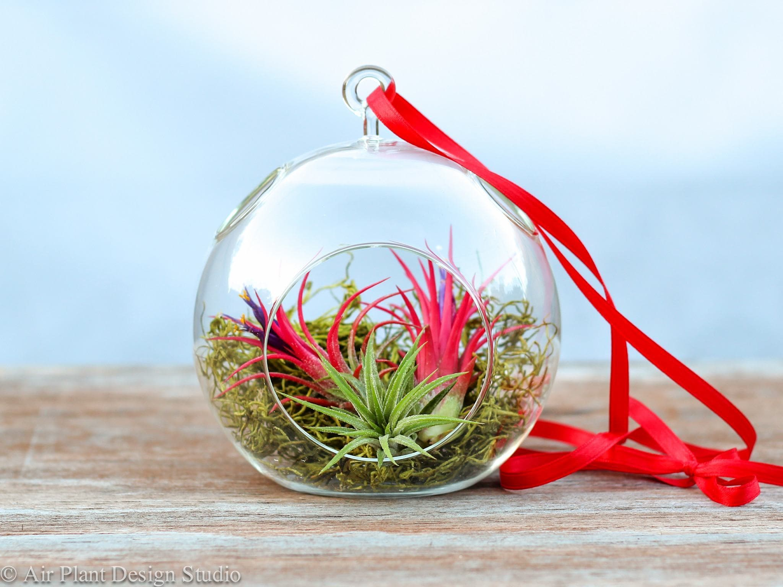 Adorn your home with a beautiful self-made air plant arrangement -